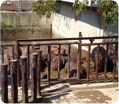 台北市立動物園カバ