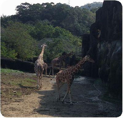 台北市立動物園キリン
