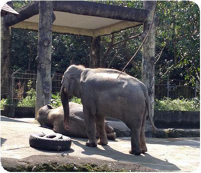 台北市立動物園ゾウ2