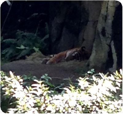台北市立動物園トラ