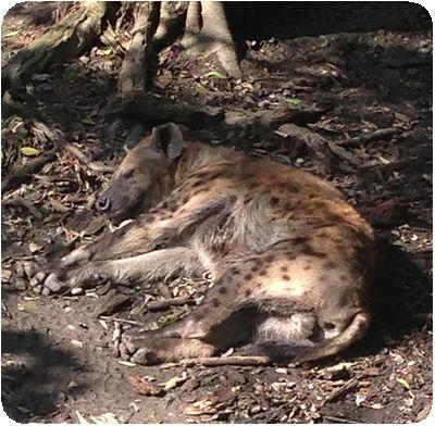 台北市立動物園ハイエナ