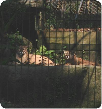 台北市立動物園ピューマ