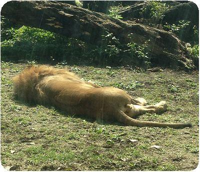 台北市立動物園ライオン