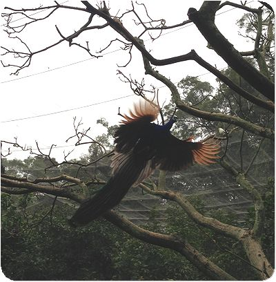 台北市立動物園クジャク飛ぶ