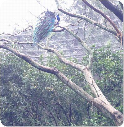 台北市立動物園クジャク木