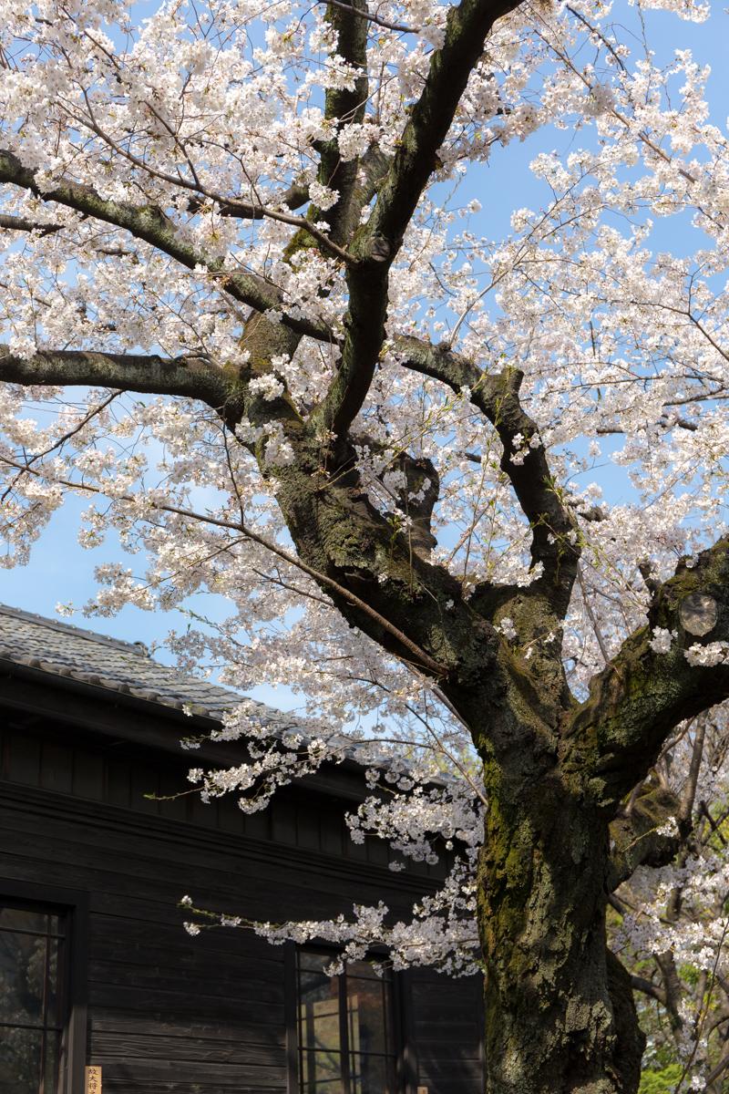 乃木神社(14)