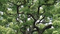 クスノキ枝ぶり