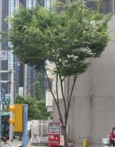 ケヤキ樹形