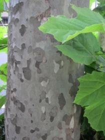 プラタナスの幹の模様
