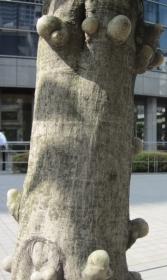 シラカシの幹のこぶ