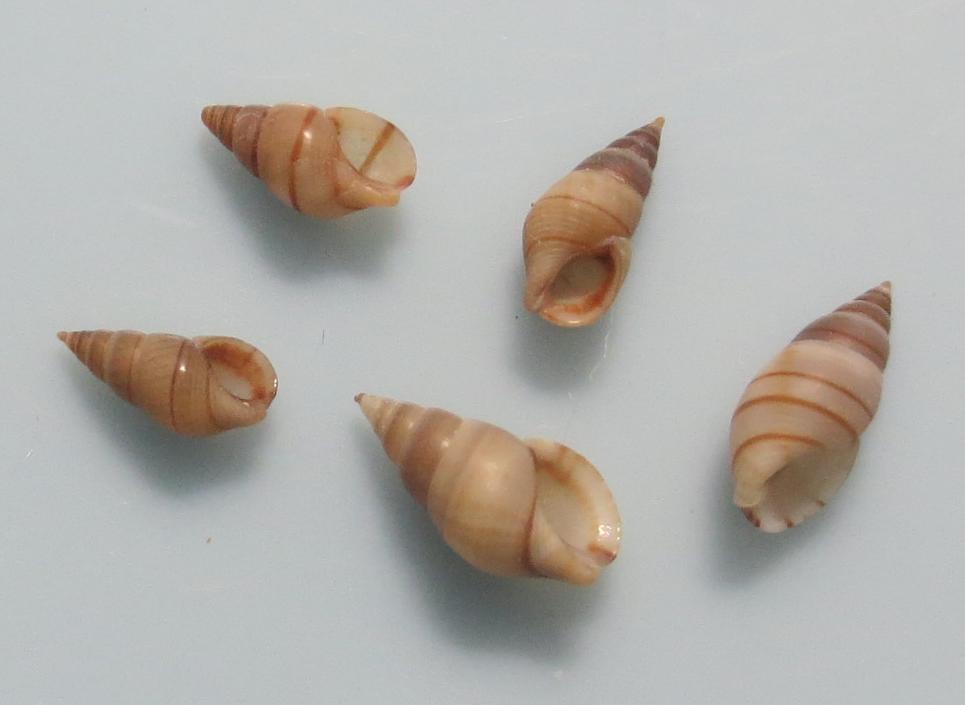 ケハダヨコスジニナ