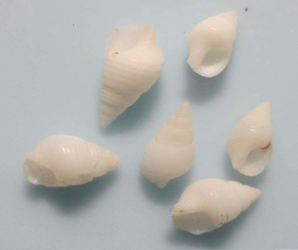 マキゾメニナ