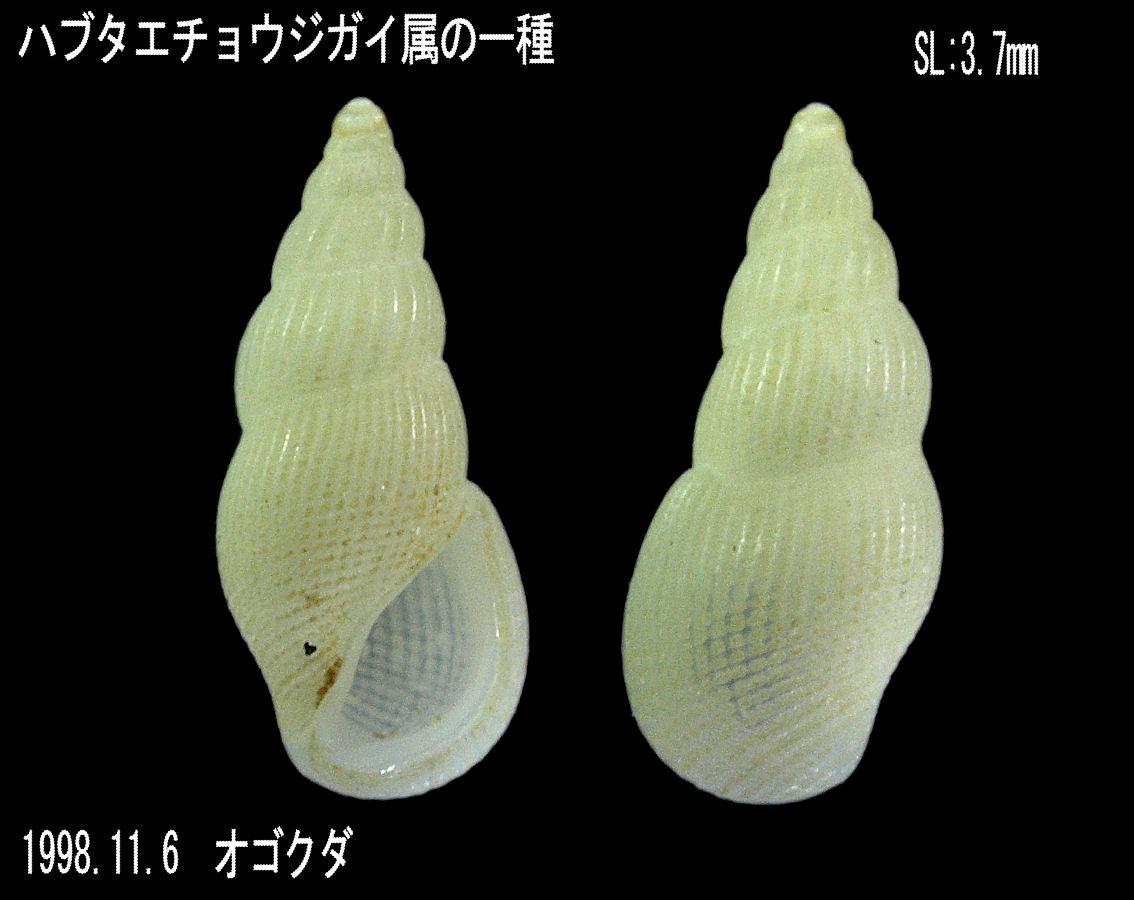 ハブタエチョウジガイ属の一種 2