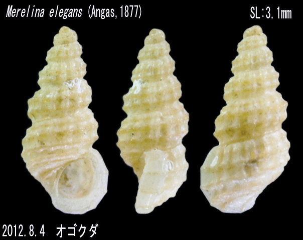 Merelina elegans 2