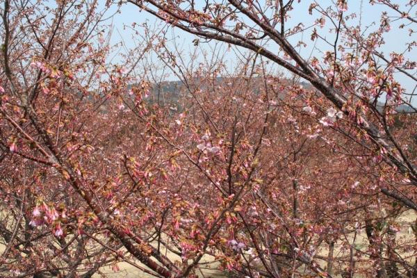 s140312桜