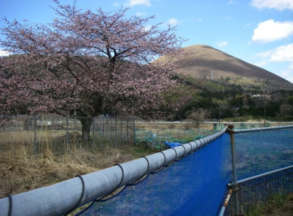 s140322畑桜