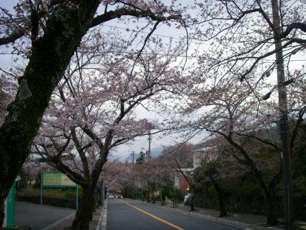 s140329桜並木