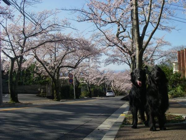 s140331桜並木