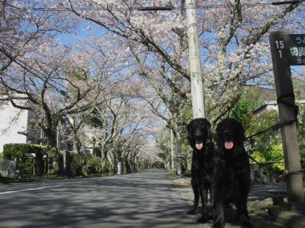 s140331池桜並木