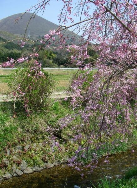 s140409枝垂れ桜
