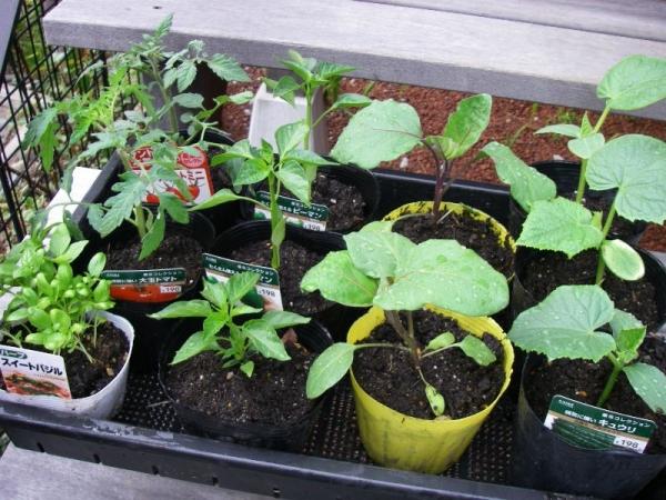 s140515野菜苗