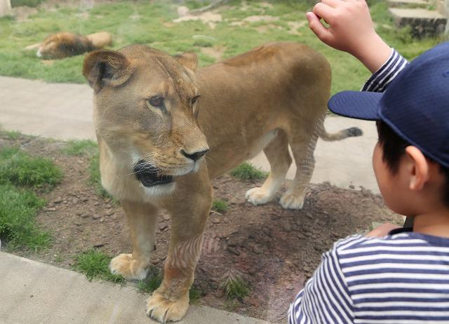 ライオンと子供