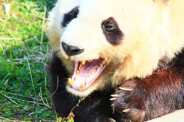 panda_china003.jpg