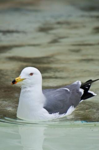 【原因不明】 富山と石川県の海岸でウミネコ約250羽が死骸で漂着 鳥インフルエンザは陰性