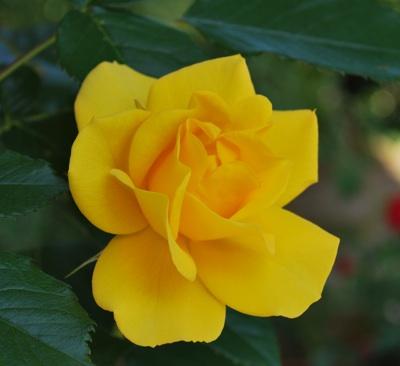 玄関 黄色バラ
