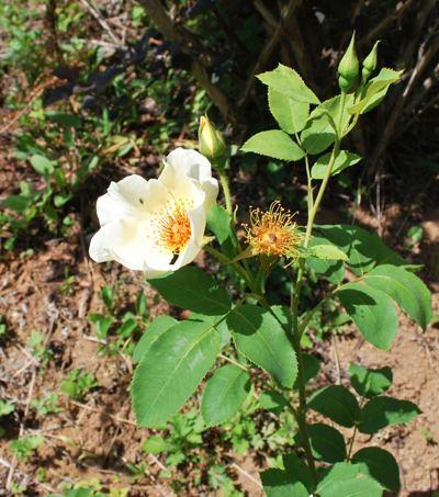 コロ 白いバラ