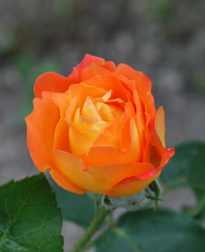 アンネのバラ260602