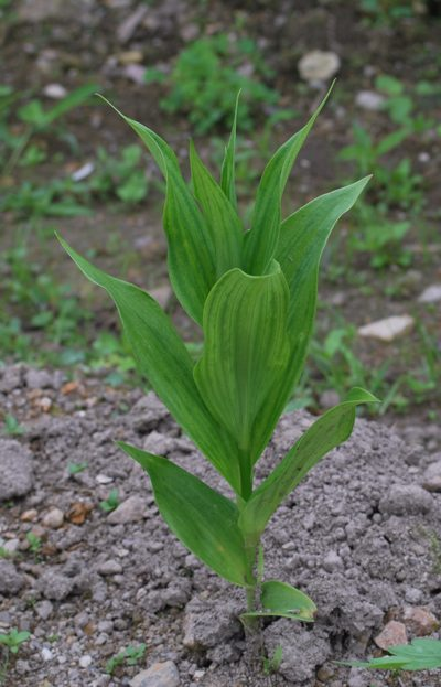 反対に植えたグロリオサ