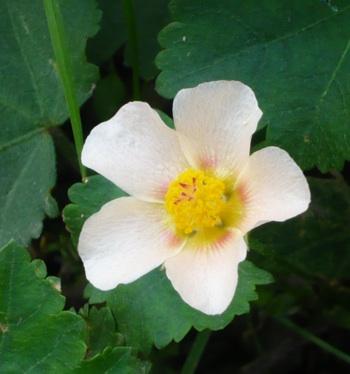 草抑えの花