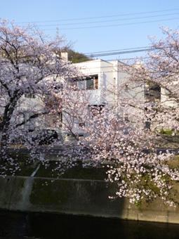 桜町の桜01