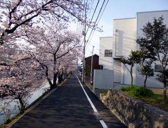 桜町の桜02