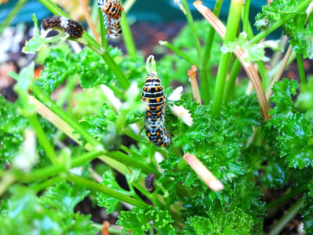 140803キアゲハ幼虫