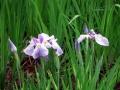 紫陽花 010