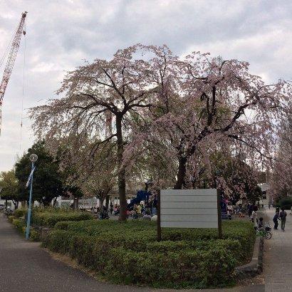 20140402等々力しだれ桜