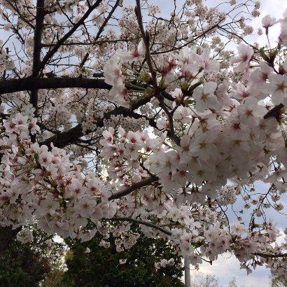 20140402等々力近くで見た桜