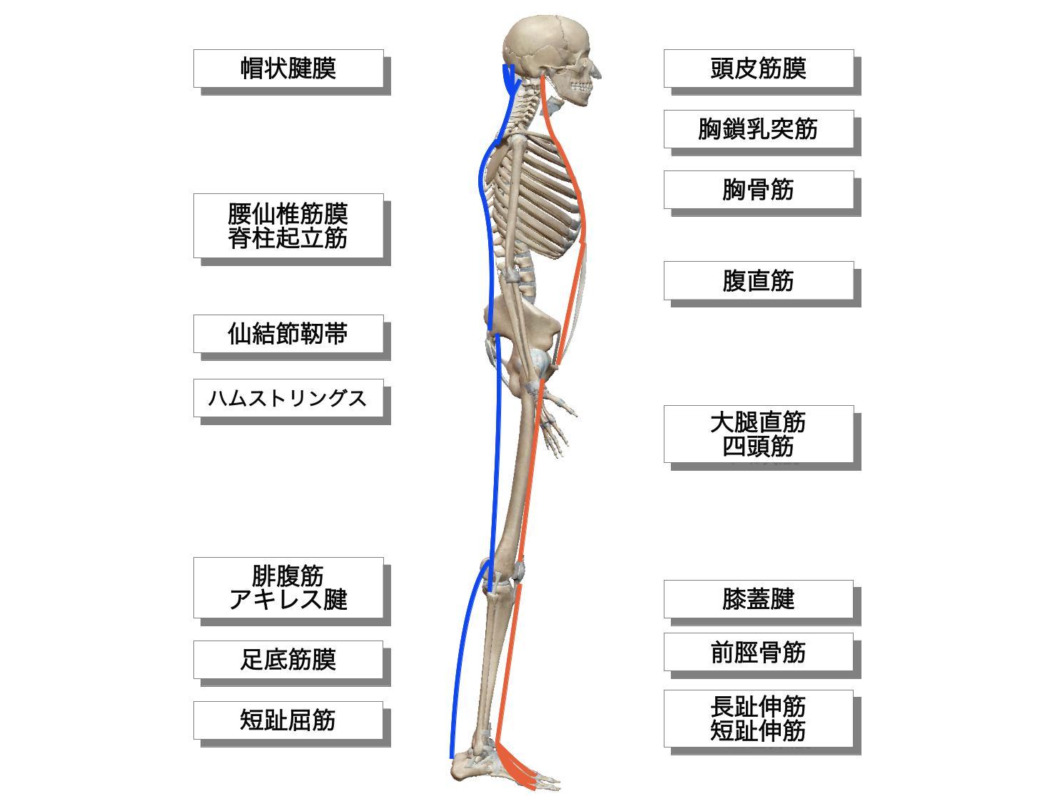 前面と後面の筋膜連結
