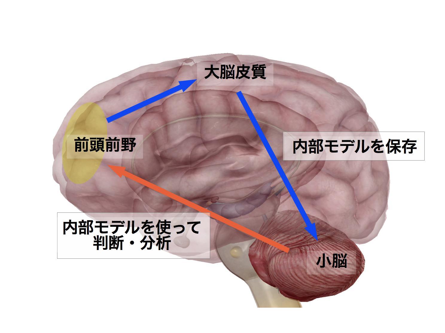 小脳の内部モデル