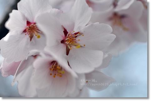 桜 120