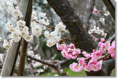 大乗寺丘陵公園の梅など 133