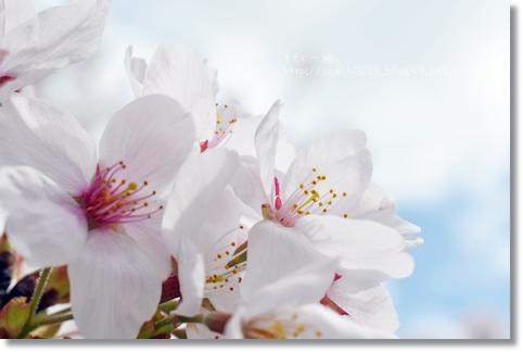 岐阜の桜 164