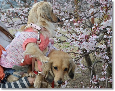 大乗寺丘陵公園の桜 064
