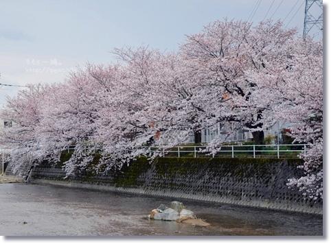伏見川沿いの桜 002