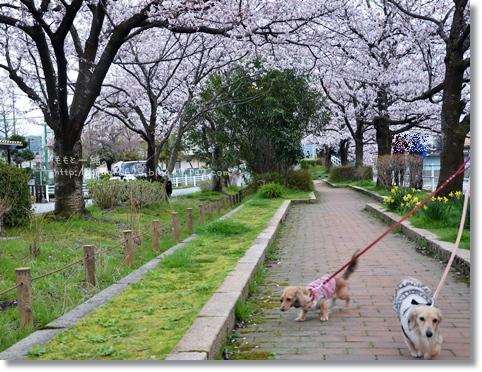 伏見川沿いの桜 014