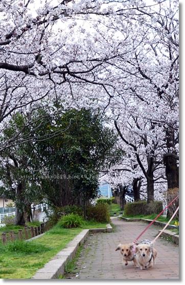 伏見川沿いの桜 024