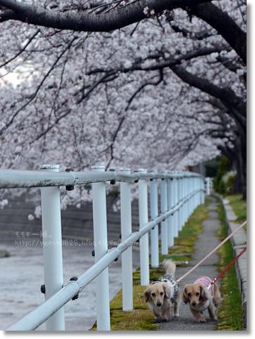 伏見川沿いの桜 045
