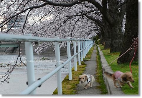 伏見川沿いの桜 050
